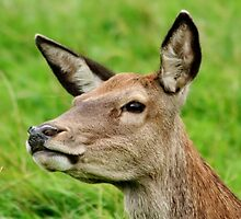 Red Deer Profile by AnnDixon