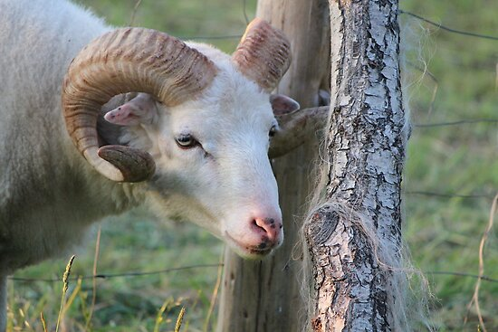 What a Ram by karina5