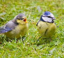 Young Blue Tit and mother by Cameron Prentice
