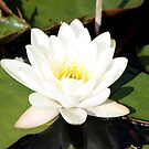White Water Lily by dilouise