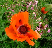 Orange Poppy by michaelwvaught