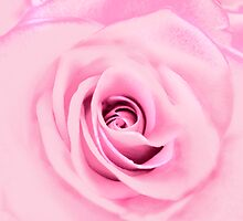 Lovely Pink Rose  by Marcia Rubin