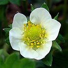 Strawberry Blossom by PatChristensen
