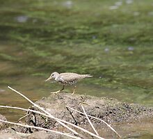 Spotted sandpiper by Larry Baker