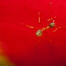 Green Ant on Heliconia by Dieter Tracey