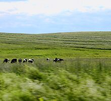 "Drive-by Shooting #17: Cows! by Christine ""Xine"" Segalas"