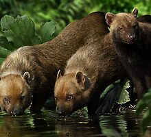 BUSH DOG (Speothos venaticus) DIGITAL PAINTING, NOT A PHOTOGRAPH by DilettantO