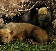 3 BUSH DOGS  (Speothos venaticus) DIGITAL PAINTING, NOT A PHOTOGRAPH by owen bell