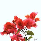Bougainvillea by Vanessa Barklay