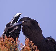 Ethiopia - thick billed ravens by Marieseyes