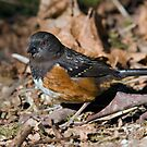Spotted Towhee by Randall Ingalls