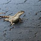 First Incursion - Curly Tailed Lizard by Glenn Cecero