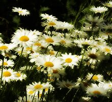 Daisies by Margaret Goodwin