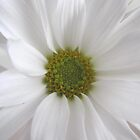 Dreamy White Daisy by hummingbirds