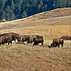 Bison Grazing in Custer State Park by Robert H Carney