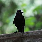 Common Grackle by Alyce Taylor
