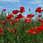 The poppies in the fields by Peter Zentjens