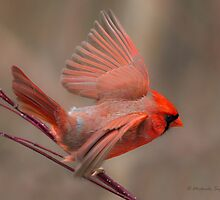 Northern Cardinal on dogwood by Michaela Sagatova