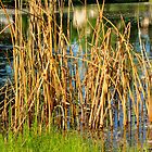 Swamp Grass and Shimmering Lake by marshmaven