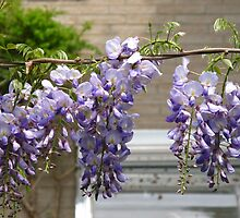 Draped Wisteria blossoms by MarianBendeth