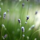 Lavender blur by lorrainem
