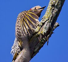 Northern Flicker by withacanon