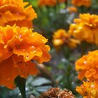 Multiple Orange Marigolds by Shaun  Gabrielli