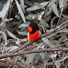 Take A Bow ... Red-capped Robin by Kerryn Ryan, Mosaic Avenues