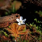 Sundew Flower by Pene Stevens