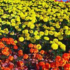 Flowerbed of narcissus's by Eduard Isakov