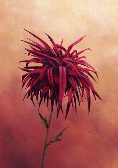 Red Dahlia - single flower  by Helen Lush