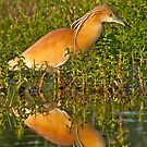 Squacco Heron (Ardeola ralloides) by Konstantinos Arvanitopoulos