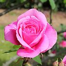 Flaural rose by Abigail Jennings