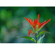 Red Wildflower - Sheep River Falls Area Photographic Print