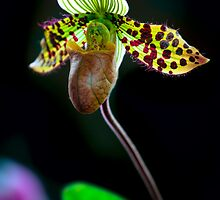 An Orchid preparing for the ballet by alan shapiro