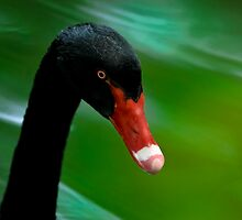 Black Swan Portrait by Joe Jennelle