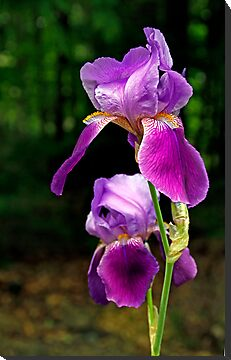 Iris in the Woods - Dunrobin, Ontario by Debbie Pinard