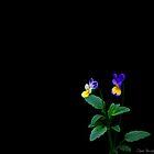 Violas..... by DaveHrusecky