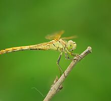 dragonfly by davvi