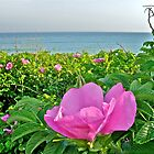Beach Plum Blossom at Matunuck Beach - Rhode Island by Jack McCabe