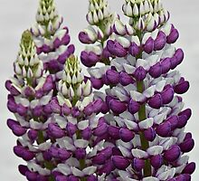 Purple Lupins by Julesrules
