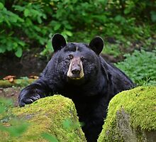 Black Bear by Kathy Yates