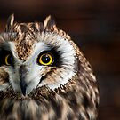 Short-eared Owl by Sam Scholes
