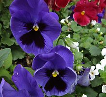 Purple Pansies by marybedy