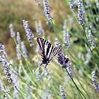 Lavender Zebra 4 by WalnutHill