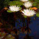 Capistrano lilies by Celeste Mookherjee