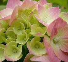 Hydrangea in Bud,Tumut, N.S.W. Australia. by kaysharp