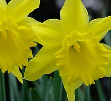 Daffs by Mark Dargan