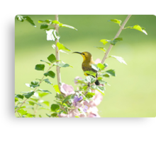 Mummy sunbird  Canvas Print