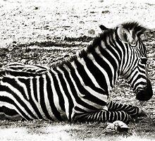 Baby Zebra by Carla Jensen